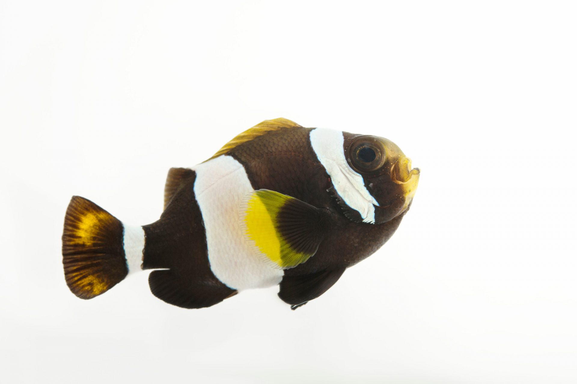 Picture of a wide-banded anemonefish (Amphiprion latezonatus) at the Dallas World Aquarium.