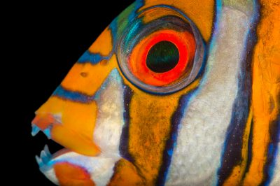 Picture of a harlequin Tusk (Choerodon fasciatus) at Pure Aquariums.