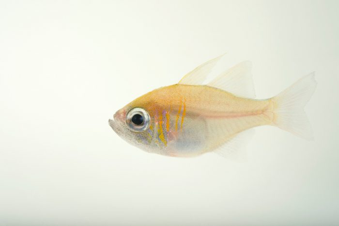 Threadfin cardinalfish (Zoramia leptacantha) at Omaha's Henry Doorly Zoo and Aquarium.