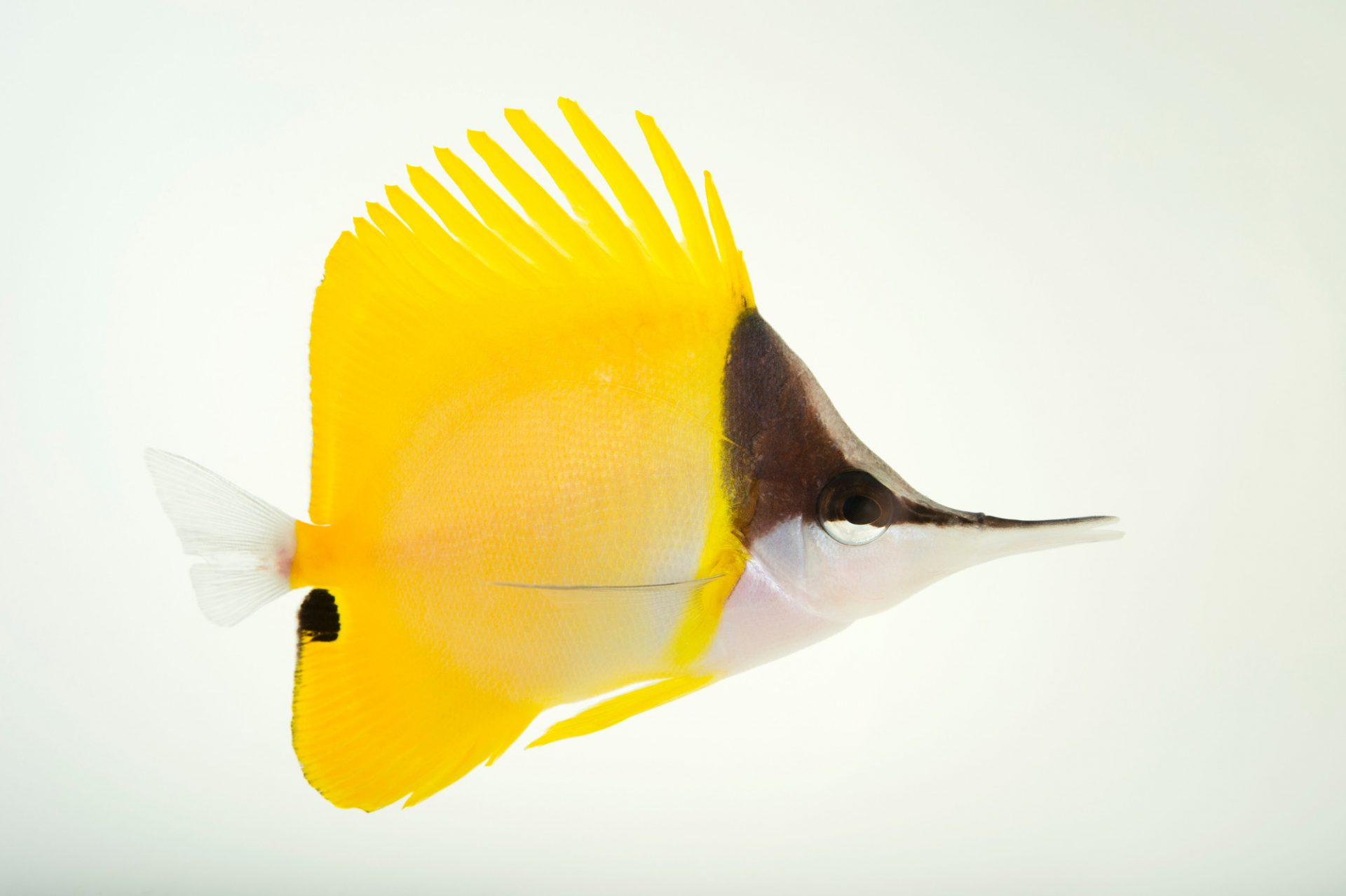 Picture of yellow longnose butterflyfish (Forcipiger flavissimus) at Omaha's Henry Doorly Zoo and Aquarium.