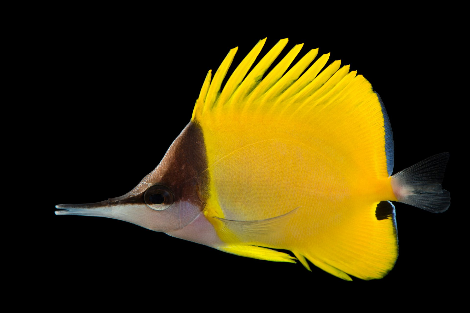 Picture of a yellow longnose butterflyfish (Forcipiger flavissimus) at Omaha's Henry Doorly Zoo and Aquarium.