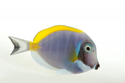 Picture of a powder blue surgeonfish (Acanthurus leucosternon) at Omaha's Henry Doorly Zoo and Aquarium.