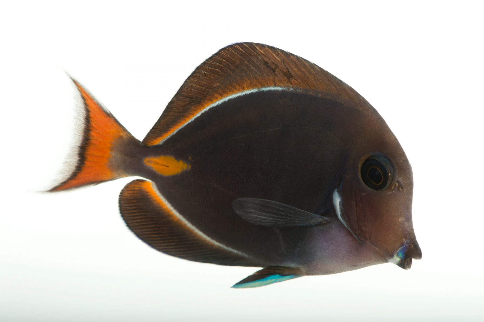 Picture of an achilles tang (Acanthurus achilles) at Omaha's Henry Doorly Zoo and Aquarium.