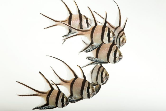 Picture of endangered Banggai cardinalfish (Pterapogon kauderni) at Omaha's Henry Doorly Zoo and Aquarium.