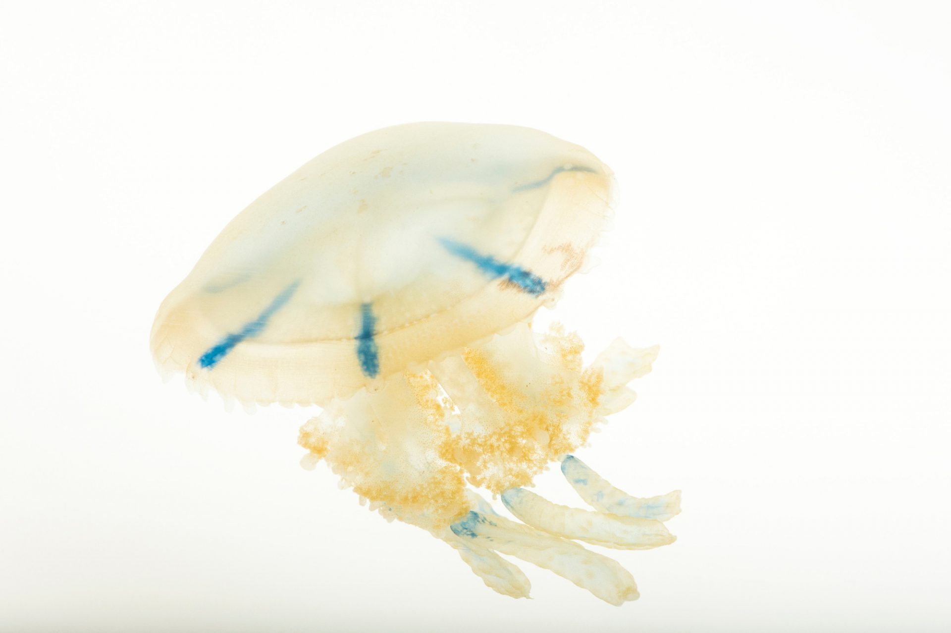 Picture of a Spotted jelly (Mastigias papua) at Omaha's Henry Doorly Zoo and Aquarium.