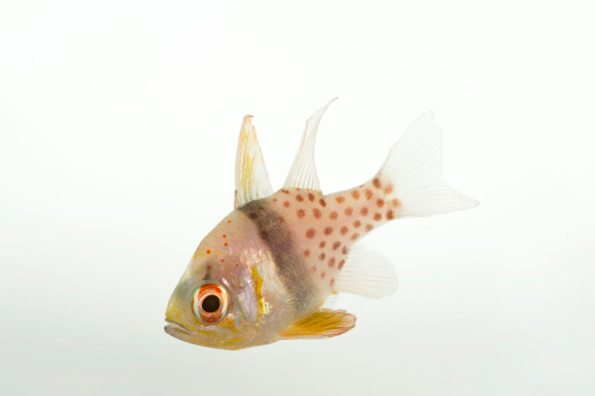 Picture of a pajama cardinalfish (Sphaeramia nematoptera) at Omaha's Henry Doorly Zoo and Aquarium.