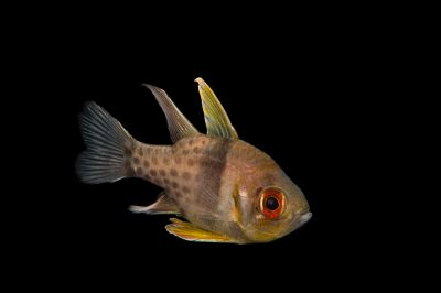 Picture of a pajama cardinalfish (Sphaeramia nematoptera) at Omaha's Henry Doorly Zoo and Aquarium.