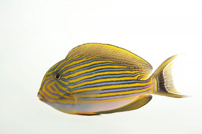 Picture of a lined surgeonfish (Acanthurus lineatus) at Omaha's Henry Doorly Zoo and Aquarium.