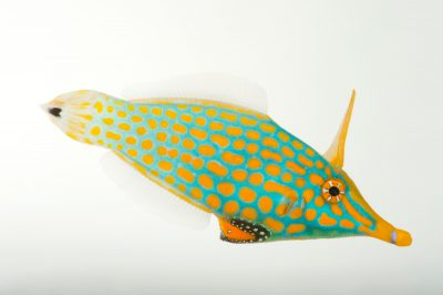 Picture of an orange spotted filefish (Oxymonacanthus longirostris) at Omaha's Henry Doorly Zoo and Aquarium.