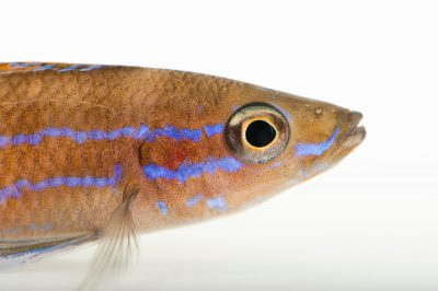 Picture of a blue neon (Paracyprichromis nigripinnis) at Omaha's Henry Doorly Zoo and Aquarium.
