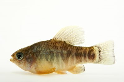 Picture of a sheepshead minnow or sheepshead pupfish (Cyprinodon variegatus variegatus) at the Buttonwood Park Zoo in New Bedford, Massachusetts.