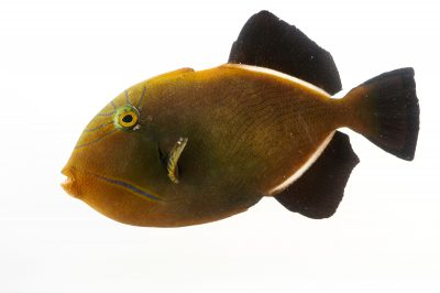Picture of a Hawaiian black triggerfish (Melichthys niger) at Pure Aquariums.