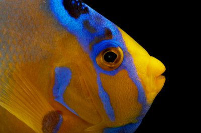 Picture of a queen angelfish (Holacanthus ciliaris) at Pure Aquariums.
