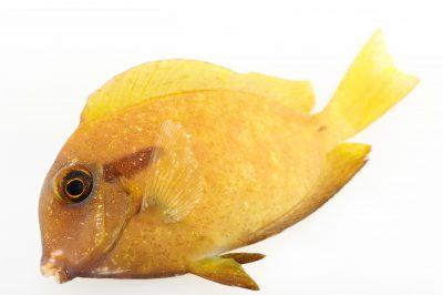 Picture of an orange band surgeonfish (Acanthurus olivaceus) at Pure Aquariums.