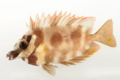 Picture of a magnificent rabbitfish (Siganus magnificus) at Pure Aquariums.