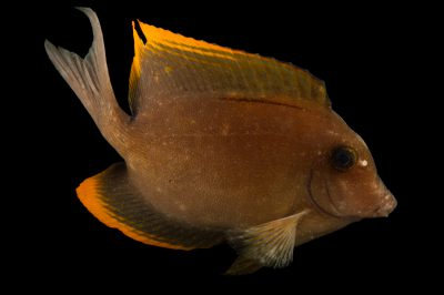 Picture of a bristletooth Tomini tang surgeonfish (Ctenochaetus tominiensis) at Pure Aquariums.