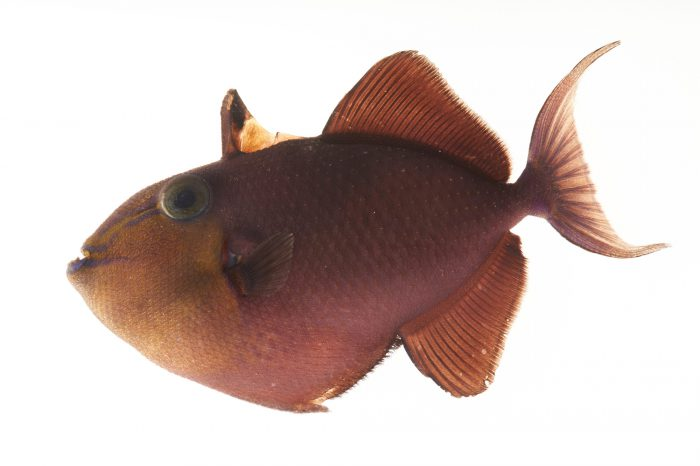 Picture of a red-toothed triggerfish (Odonus niger) at Pure Aquariums.