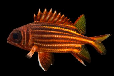 Picture of a striped squirrelfish (Sargocentron xantherythrum) at Pure Aquariums.
