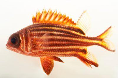 Picture of a striped squirrelfish (Sargocentron xantherythrum) at Pure Aquariums.