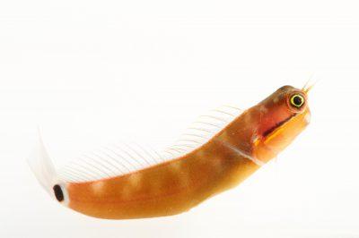 Picture of a tail-spot combtooth-blenny (Ecsenius stigmatura) at Pure Aquariums.