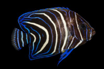 Picture of a Koran angelfish (Pomacanthus semicirculatus) at Pure Aquariums.
