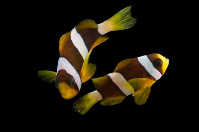 Picture of a Clark's anemonefish (Amphiprion clarkii) at Pure Aquariums.
