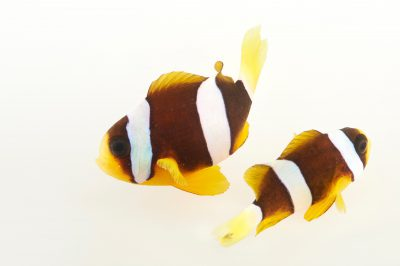 Picture of Clark's anemonefish (Amphiprion clarkii) at Pure Aquariums.