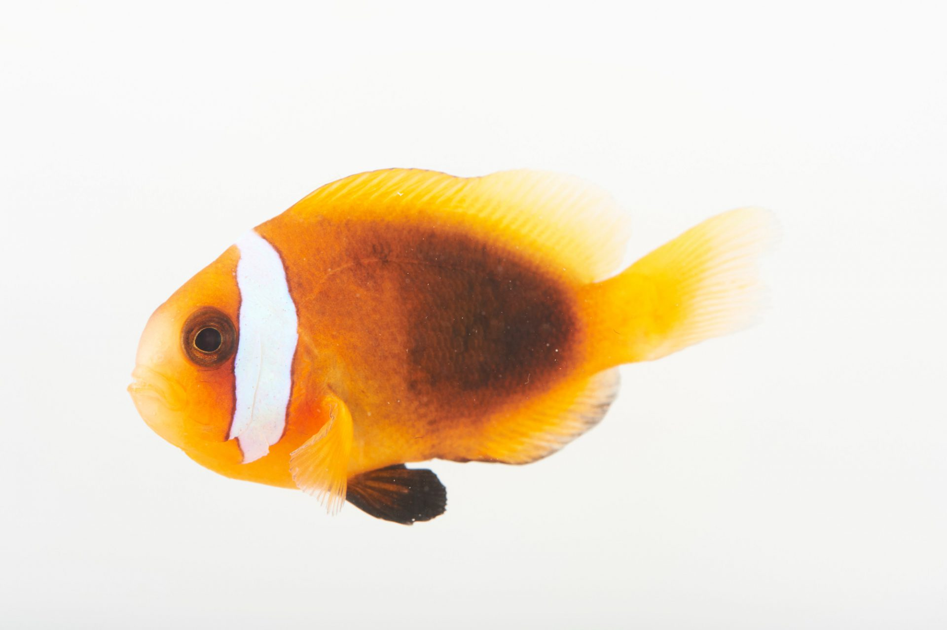 Picture of a cinnamon clownfish (Amphiprion melanopus) at Pure Aquariums.