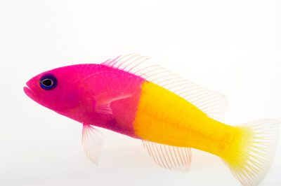 Picture of a bicolor dottyback (Pictichromis paccagnellae) at Pure Aquariums.