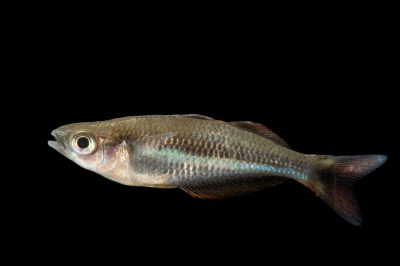Picture of a vulnerable Allen's rainbowfish (Chilatherina alleni) at Pure Aquariums.