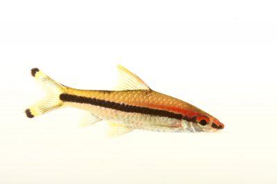 An endangered red-line torpedo barb (Sahyadria denisonii) at Pure Aquariums.
