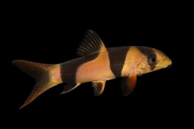 Picture of a clown loach or tiger botia (Chromobotia macracanthus) at Pure Aquariums.