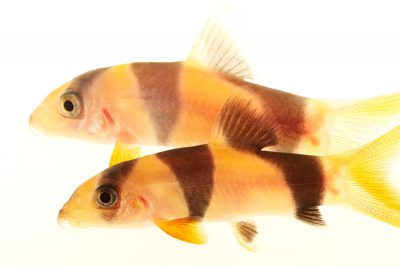 Picture of two clown loachs or tiger botia (Chromobotia macracanthus) at Pure Aquariums.