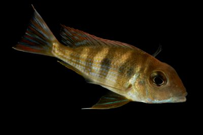 "Picture of a tapajos red head (Geophagus sp. ""Tapajos"") at Pure Aquariums."
