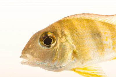 """Picture of a tapajos red head (Geophagus sp. """"Tapajos"""") at Pure Aquariums."""