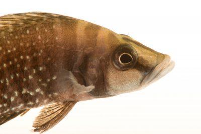 Picture of a near threatened black calvus (Altolamprologus calvus) at Pure Aquariums.
