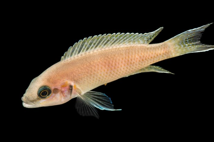 Picture of a fairy cichlid (Neolamprologus brichardi) at Pure Aquariums.