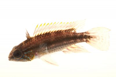 Picture of a banded dwarf cichlid (Apistogramma bitaeniata) at Pure Aquariums.