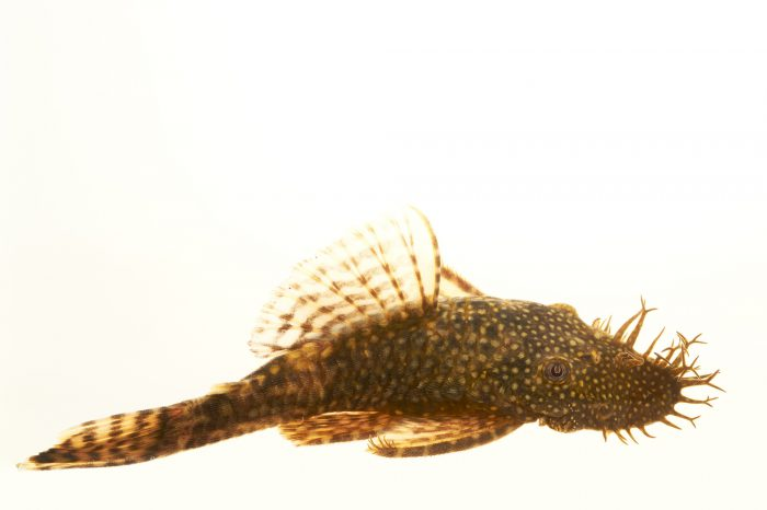 Picture of a bristlenose plecostomus (Ancistrus sp.) at Pure Aquariums.