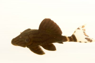 Picture of a royal panaque (Panaque nigrolineatus) at Pure Aquariums.