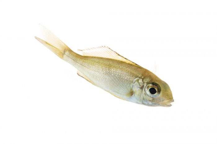 Picture of a juvenile featherfin cichlid (Cyathopharynx furcifer) at Pure Aquariums.