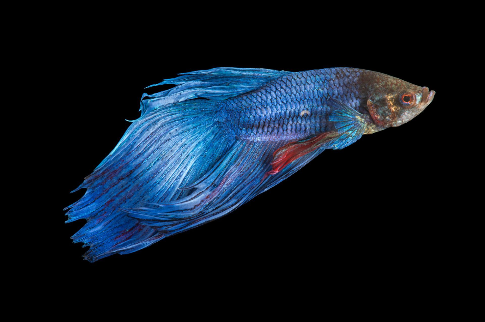 Picture of a vulnerable male Siamese fighting fish (Betta splendens) at Pure Aquariums.