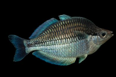 Picture of a vulnerable Lake Kutubu rainbowfish (Melanotaenia lacustris) at the Newport Aquarium.