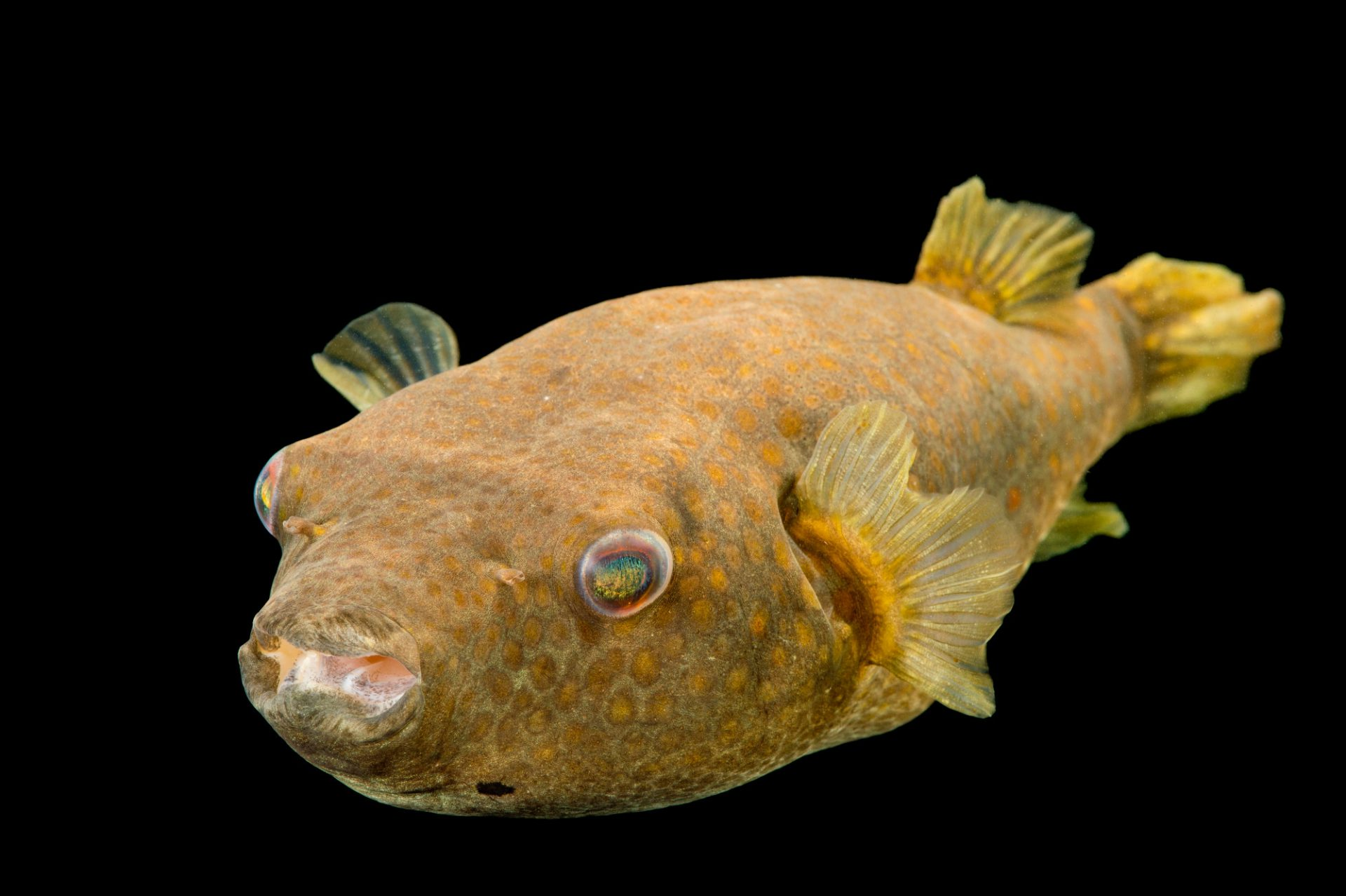 Picture of an Abe's or red-spot pufferfish (Tetraodon abei) at the Newport Aquarium.