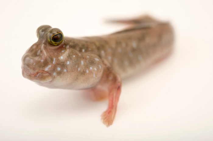 Picture of Pearse's mudskipper (Periophthalmus novemradiatus) at the Newport Aquarium.