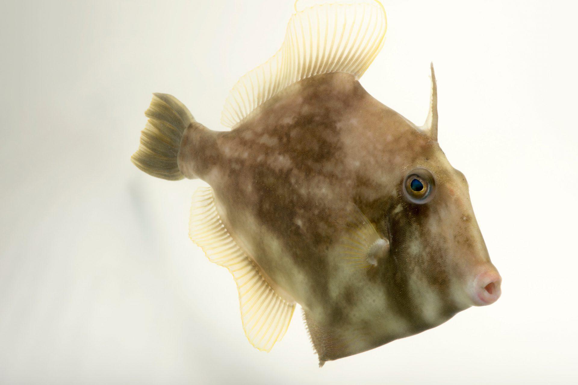 Picture of a planehead filefish (Stephanolepis hispidus) at the Newport Aquarium.