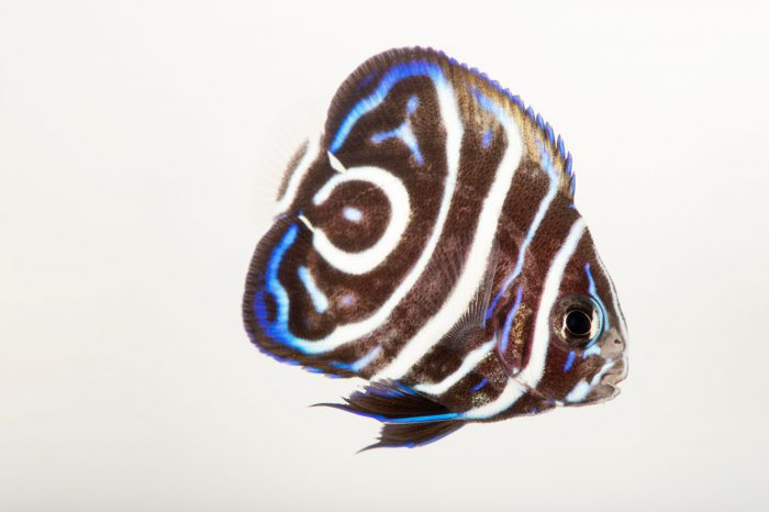 Picture of a juvenile emperor angelfish (Pomacanthus imperator) at the Newport Aquarium.