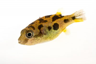 Photo: A vulnerable dwarf pea pufferfish (Carinotetraodon travancoricus) at a private collection in Gainesville, Florida.