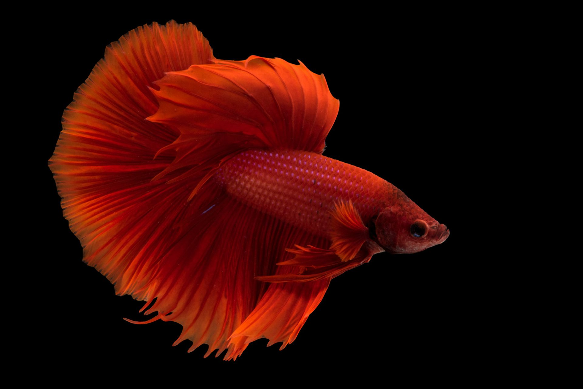 Photo: A vulnerable Siamese fighting fish or betta (Betta splendens) in Lincoln, Nebraska.