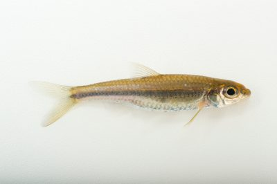 Photo: Bigeye chub (Hybopsis amblops) collected from Big Darby Creek near Circleville, OH.